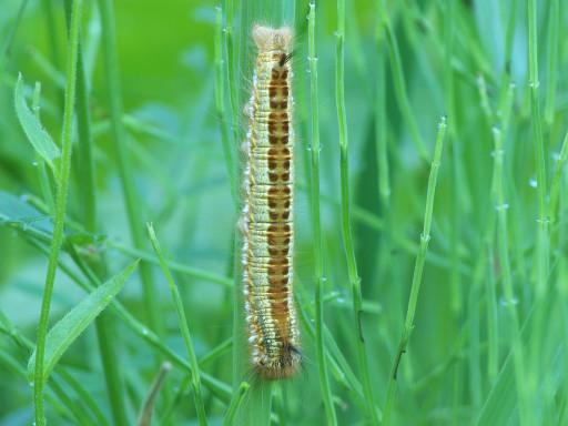 タケカレハの幼虫_1205132