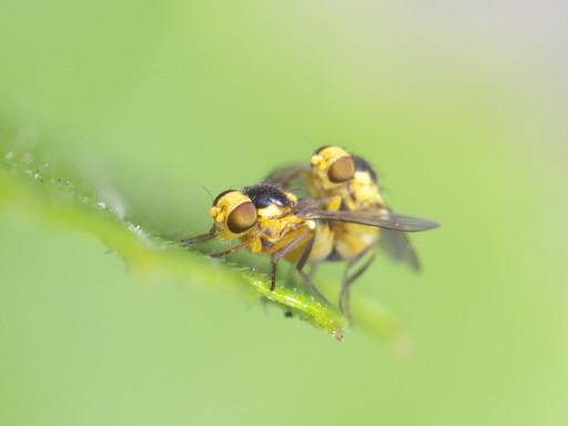 黄色いハエ_1206303