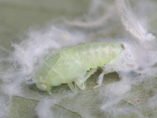 アオバハゴロモの幼虫_1207072