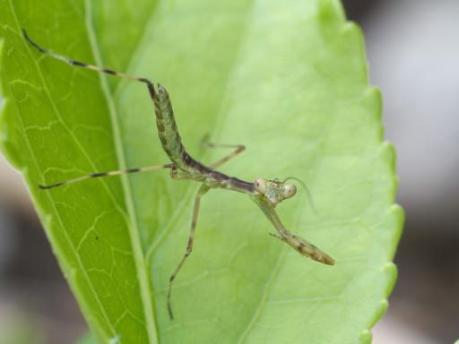ハラビロカマキリの幼虫_1207081