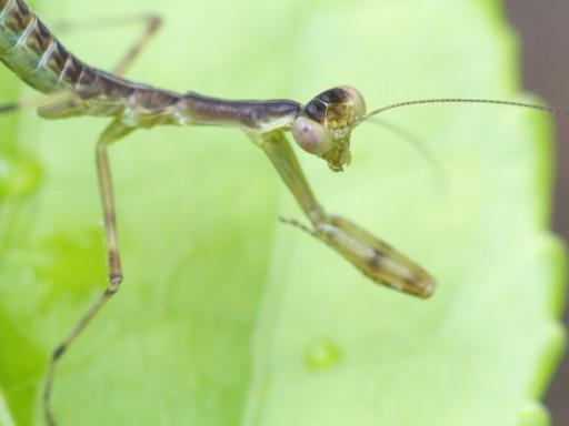 ハラビロカマキリの幼虫_1207082