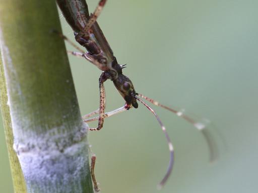 カメムシの幼虫_1208123