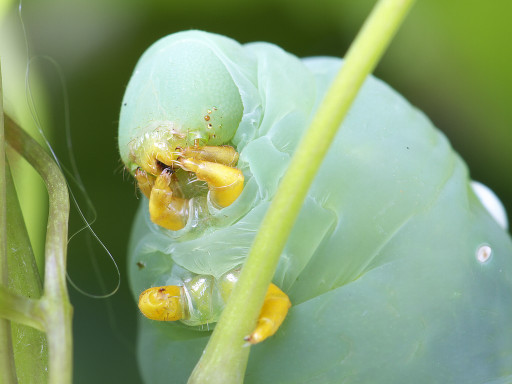 スズメガの幼虫_1208122