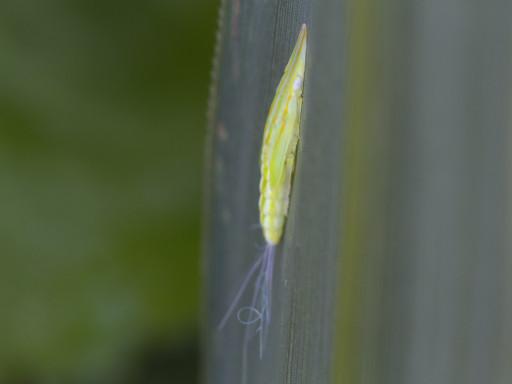 ヒラタグンバイウンカの幼虫_1208192