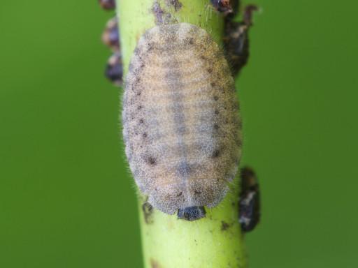 ヨツボシテントウの幼虫_1209011