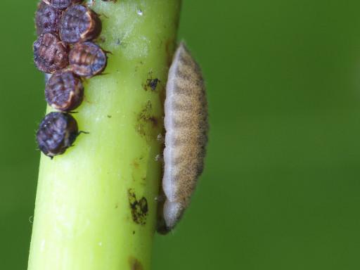 ヨツボシテントウの幼虫_1209012