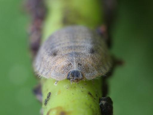 ヨツボシテントウの幼虫_1209013