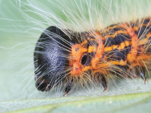 ツマキシャチホコの幼虫_1209082