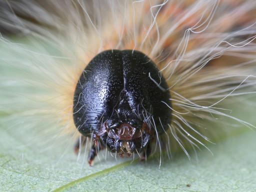 ツマキシャチホコの幼虫_1209083
