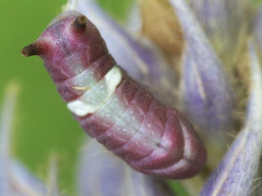 ウラギンシジミの幼虫_1209091