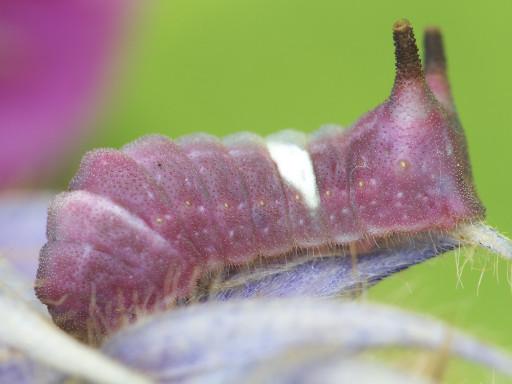 ウラギンシジミの幼虫_1209092