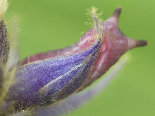 ウラギンシジミの幼虫_1209094