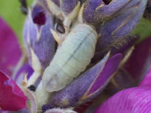 ウラナミシジミの幼虫_1209091