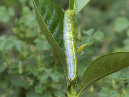 オオスカシバの幼虫_1209161