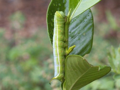 オオスカシバの幼虫_1209162