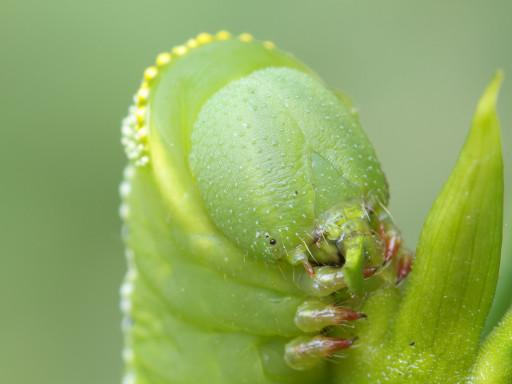 オオスカシバの幼虫_1209163