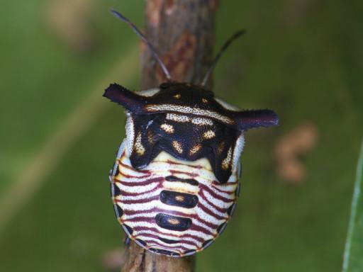 ウシカメムシの幼虫_1209301