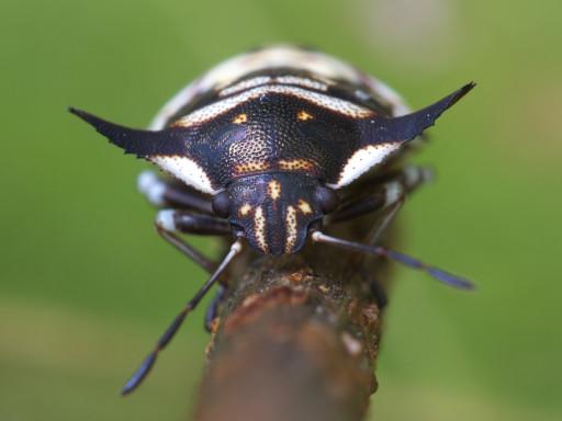 ウシカメムシの幼虫_1209303