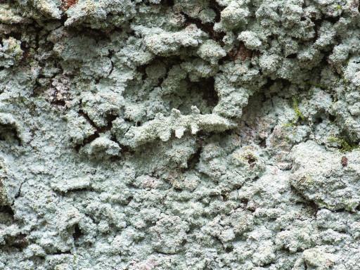 シラホシコヤガの幼虫_1211111
