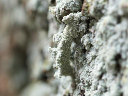 シラホシコヤガの幼虫_1211114