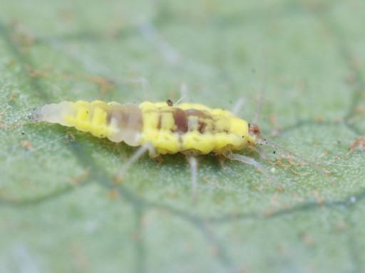 コナカゲロウ幼虫_1301032