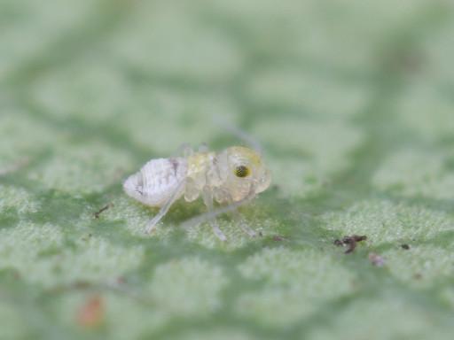 チャタテムシの仲間の幼虫_1301102