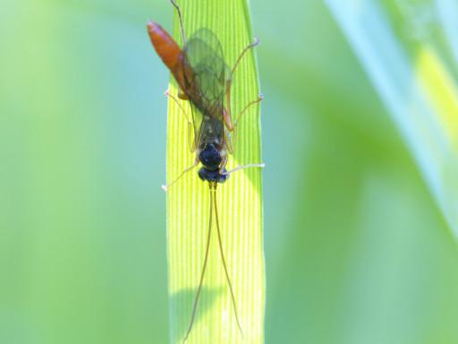 ヒメバチ科の仲間_1304272