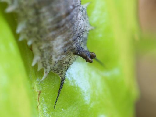 アブの幼虫?_1304293