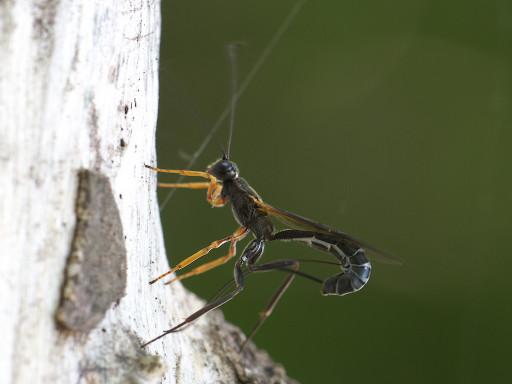 オナガバチ亜科の仲間_1305231