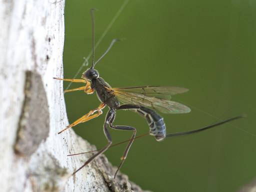 オナガバチ亜科の仲間_1305232