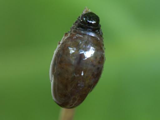 ハムシの幼虫_1306022