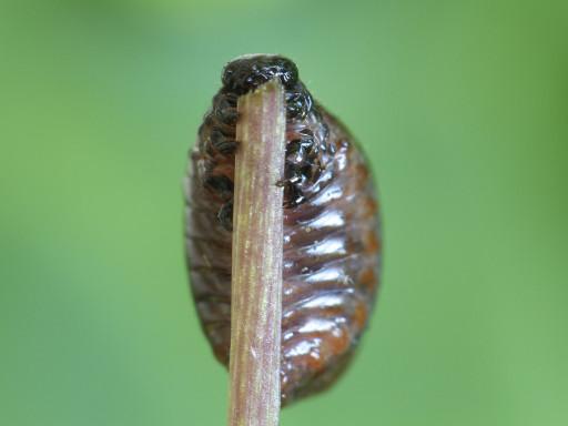 ハムシの幼虫_1306023