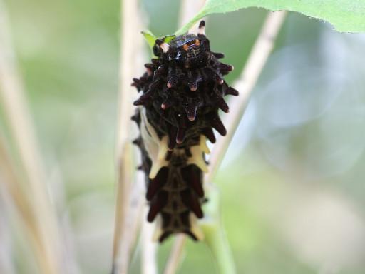 ジャコウアゲハの幼虫_1306091