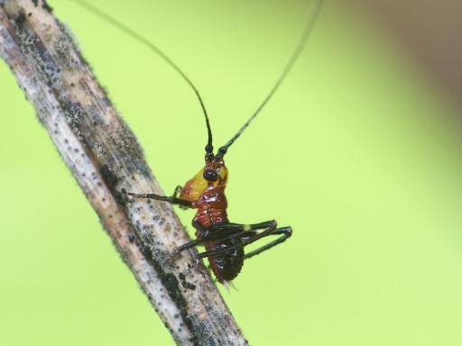 ササキリの幼虫_1306161