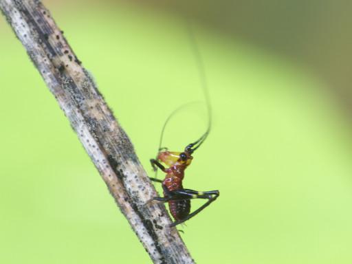 ササキリの幼虫_1306162