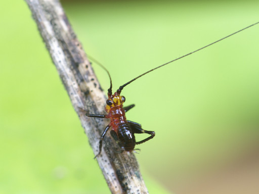ササキリの幼虫_1306163