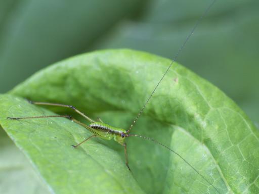 クダマキモドキの幼虫_1306231