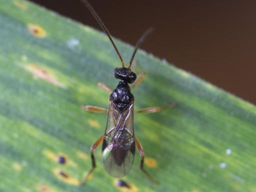 ヒメバチの仲間_1308012