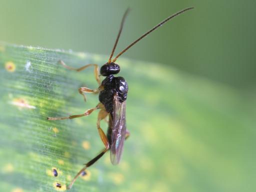 ヒメバチの仲間_1308013