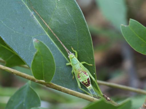 アオマツムシの幼虫_1308111