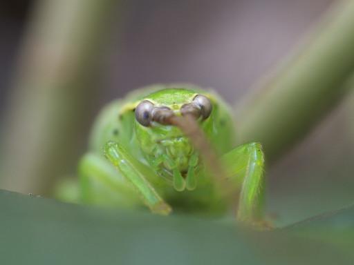 アオマツムシの幼虫_1308113