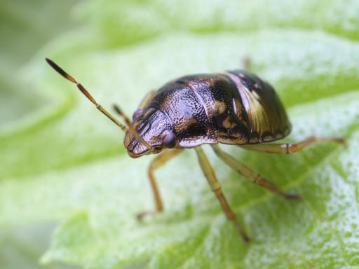 カメムシの幼虫_1309072