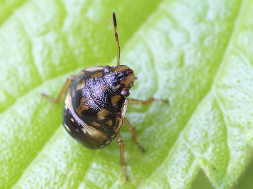 カメムシの幼虫_1309073