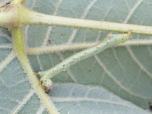 ヨモギエダシャクの幼虫_1309101