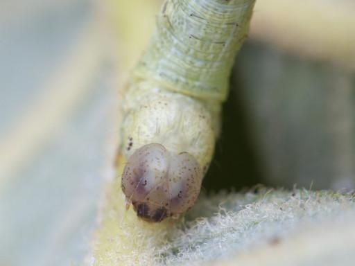 ヨモギエダシャクの幼虫_1309103