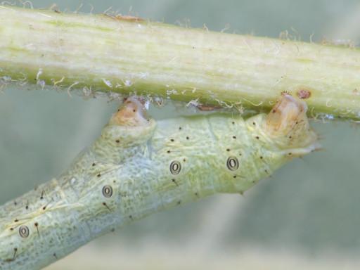 ヨモギエダシャクの幼虫_1309104