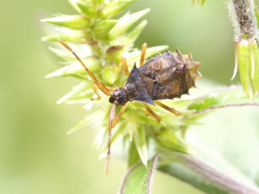 ホソハリカメムシの幼虫_1309142