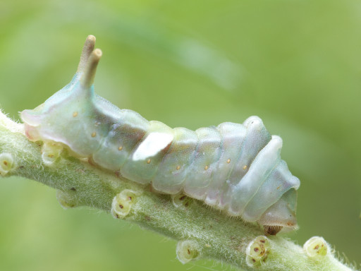 ウラギンシジミの幼虫_1309142
