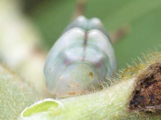 ウラギンシジミの幼虫_1309143