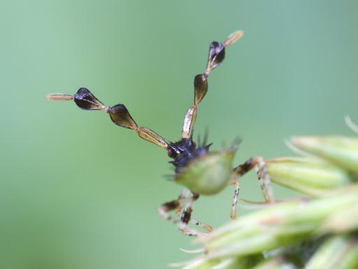ホソハリカメムシの幼虫_1309153